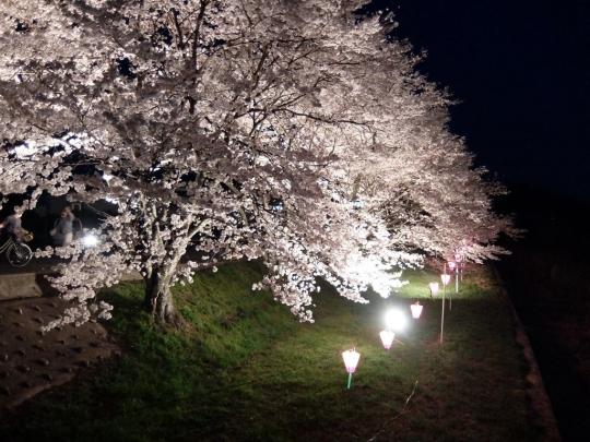 sakura_20180402_005.jpg