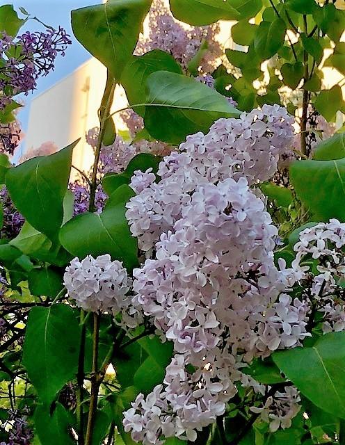 lilac2.jpg