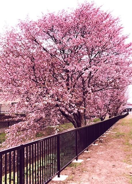 sakura_hosioki.jpg