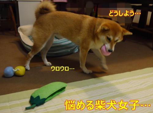 6迷う柴犬