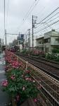 都電町屋の薔薇 その3
