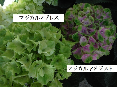 20180503Hまじかるノブレス/アメジスト