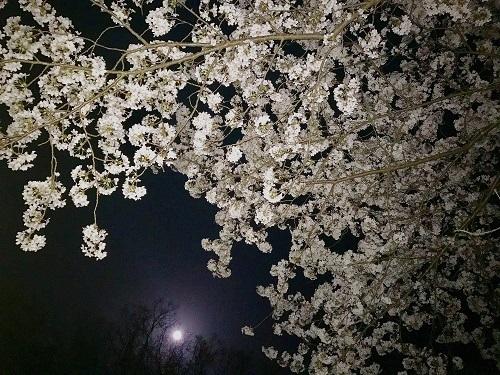 大井 夜桜3