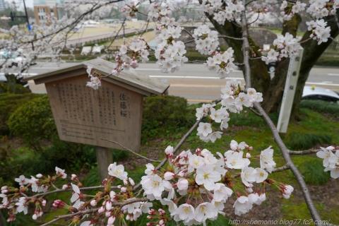 180402SAKURA_04.jpg