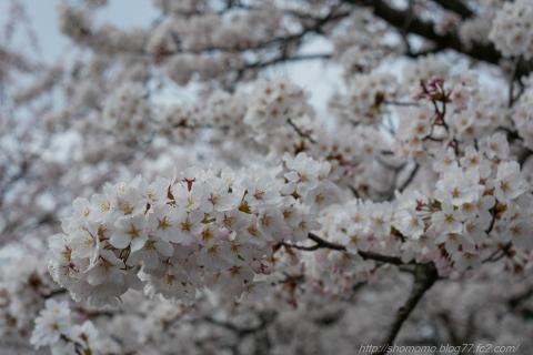 180402SAKURA_07.jpg