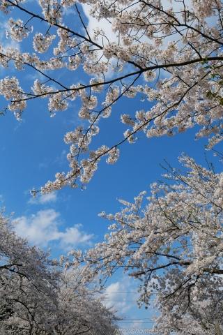 180409SAKURA_03.jpg