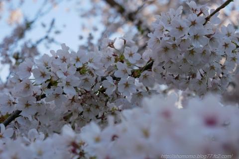 180409SAKURA_06.jpg