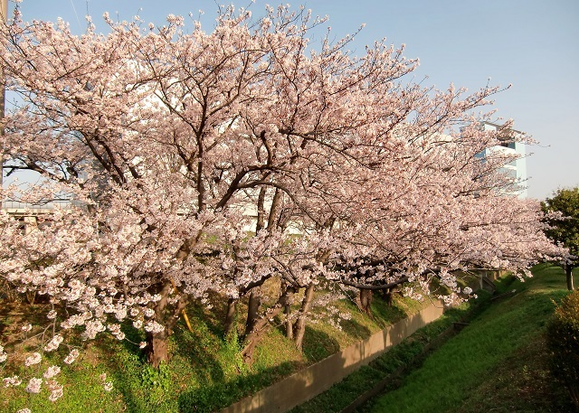 生研究所脇の土手の桜