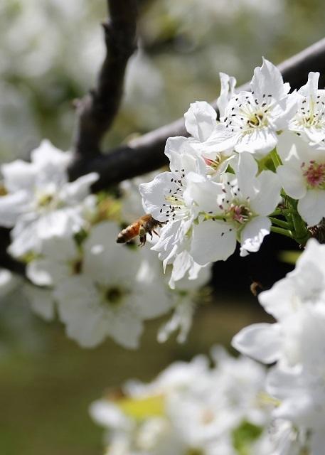 せっせと花粉を運ぶミツバチ