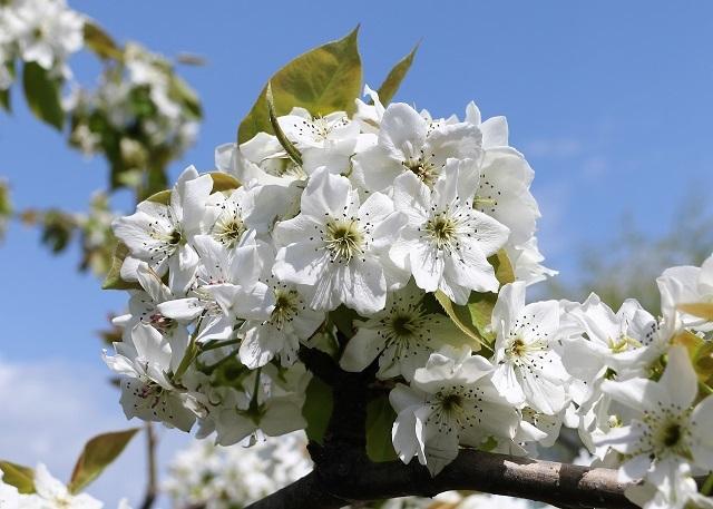 立派な梨の花