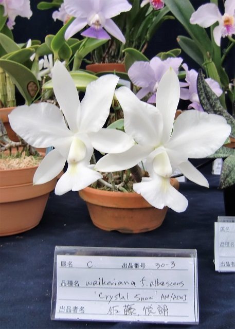 C.walkeriana fma.albesens 'Crystal Snow' AM/ACWJ