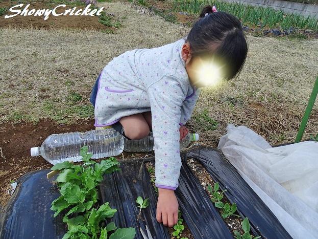 2017-03-24サラダ菜 (7)