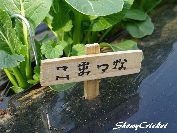 2017-03-28小松菜 (1)