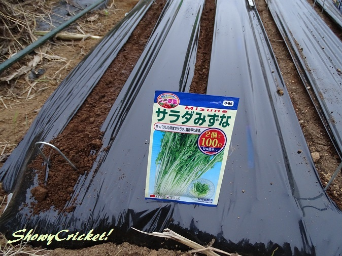 2017-09-16水菜 (2)