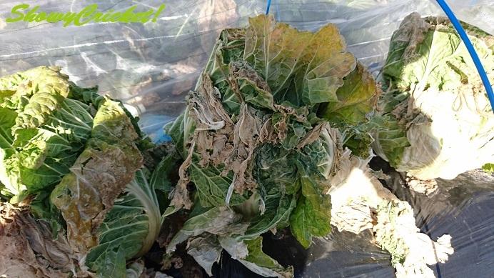 2017-12-30白菜 (3)