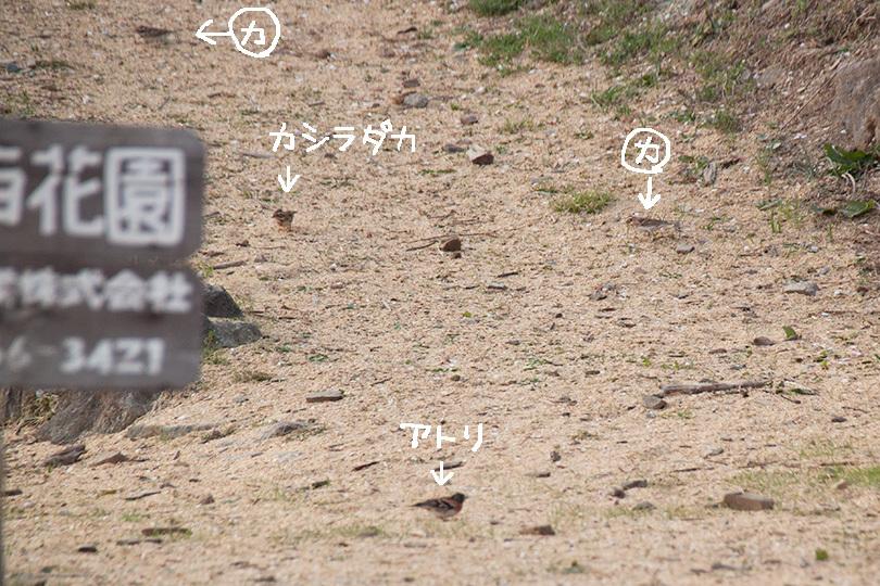 アトリ&カシラダカIMG_0592