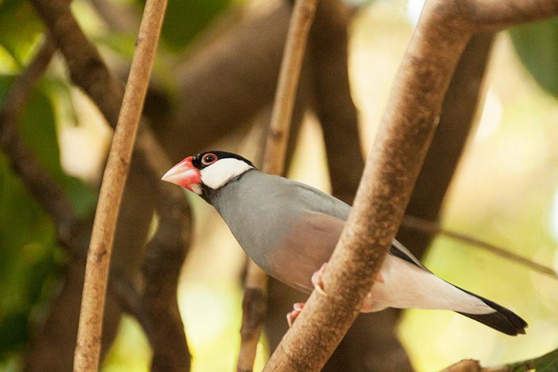 木に止まる文鳥_1422