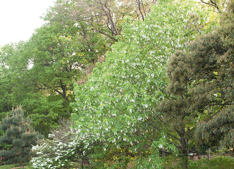 ハンカチの木全体_1478