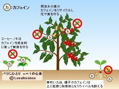 カフェインをリサイクルして芽や実を守るコーヒーノキ