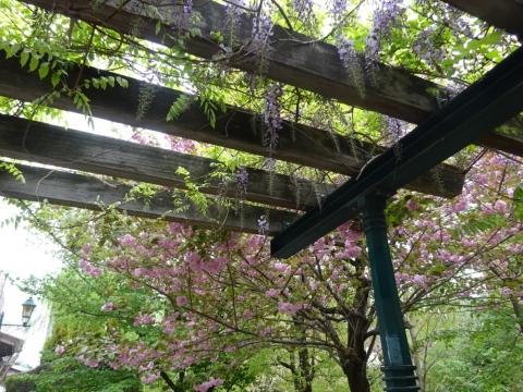 桜から藤へ