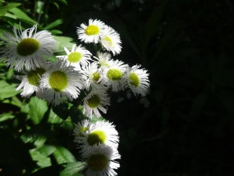 白い花の季節です