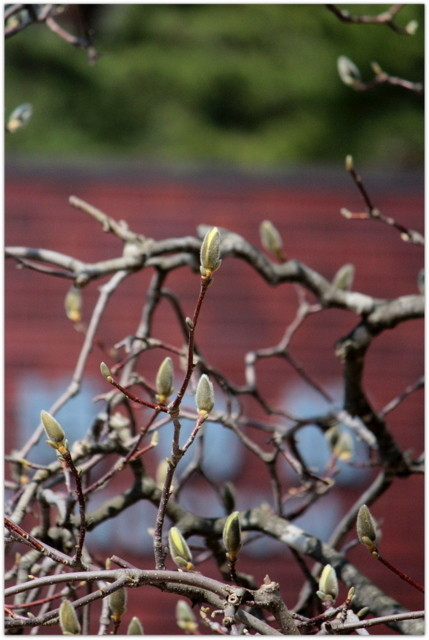 モクレン 花 青森県 弘前市 弘前公園 弘前城 観光 写真