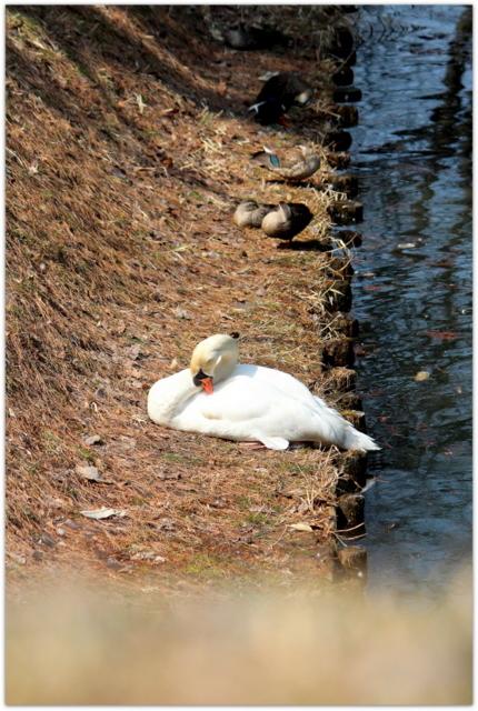 青森県 弘前市 弘前公園 弘前城 観光 写真 白鳥 ハクチョウ コブハクチョウ 鳥