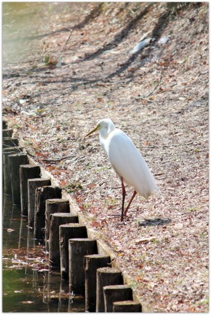 青森県 弘前市 弘前公園 弘前城 観光 写真 白鷺 鷺 サギ ダイサギ 鳥 野鳥