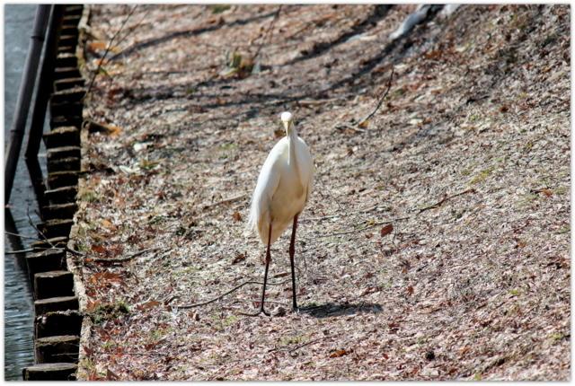 青森県 弘前市 弘前公園 弘前城 観光 写真 白鷺 鷺 鳥 ダイサギ 野鳥