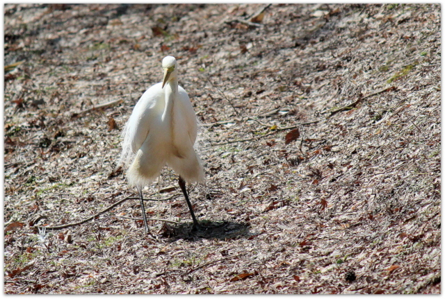 青森県 弘前市 弘前公園 弘前城 観光 写真 鷺 サギ ダイサギ 野鳥 鳥 白鷺