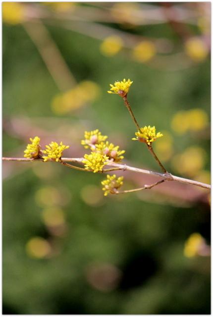 青森県 弘前市 弘前公園 弘前城 観光 写真 花 サンシュユ 植物