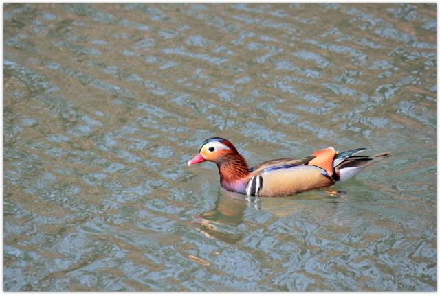 青森県 弘前市 弘前公園 弘前城 観光 写真 野鳥 おしどり オシドリ