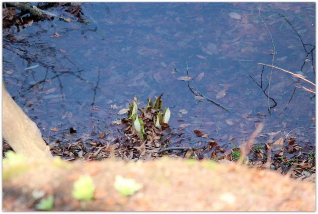 青森県 弘前市 弘前公園 弘前城 観光 写真 花 ミズバヨウ 植物
