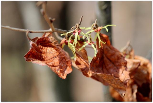 青森県 弘前市 弘前公園 弘前城 観光 写真 花 まるばまんさく 植物
