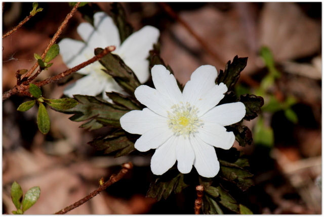 青森県 弘前市 弘前公園 弘前城 観光 写真 花 キクザキイチゲ 植物