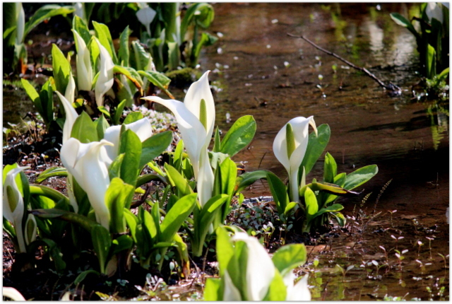 青森県 弘前市 弘前城 植物園 弘前公園 観光 写真 桜 野鳥