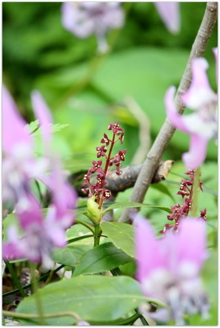 青森県 青森市 浅虫温泉 浅虫 カタクリ 花 観光 湯の島 写真