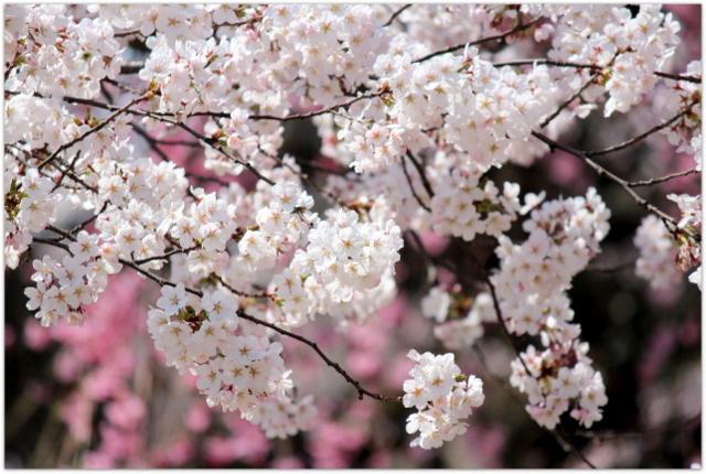 青森県 弘前市 弘前公園 弘前城 弘前さくらまつり 開会式 100周年 観桜会 記念 祝賀飛行 航空自衛隊 ブルーインパルス 写真 ビデオ 桜