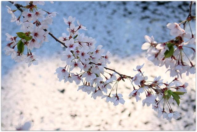 青森県 弘前市 藤田記念庭園 弘前公園 桜 弘前さくらまつり 観光 写真 弘前城 弘前公園