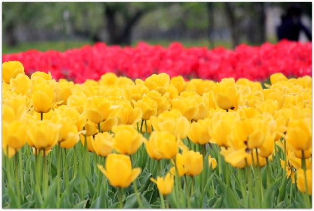 青森県 藤崎町 弘前大学 藤崎農場 イベント リンゴとチューリップのフェスティバル りんごの花 チューリップの花