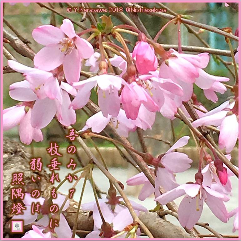 180330紅枝垂桜LRG