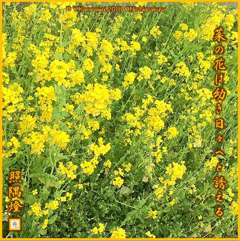 180331菜の花LRG