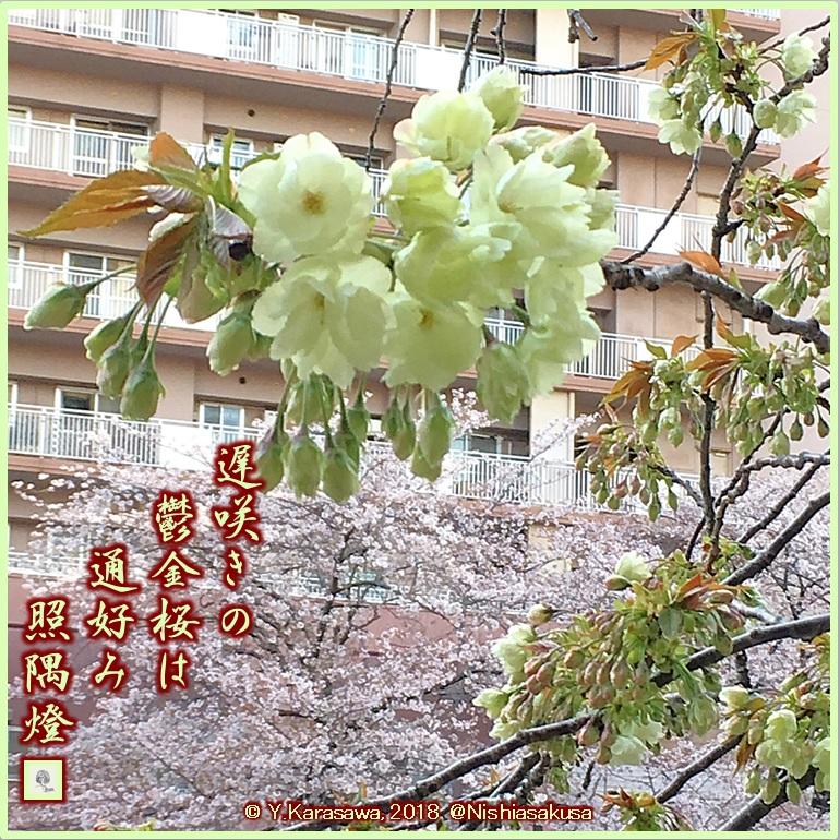 180408鬱金桜LRG