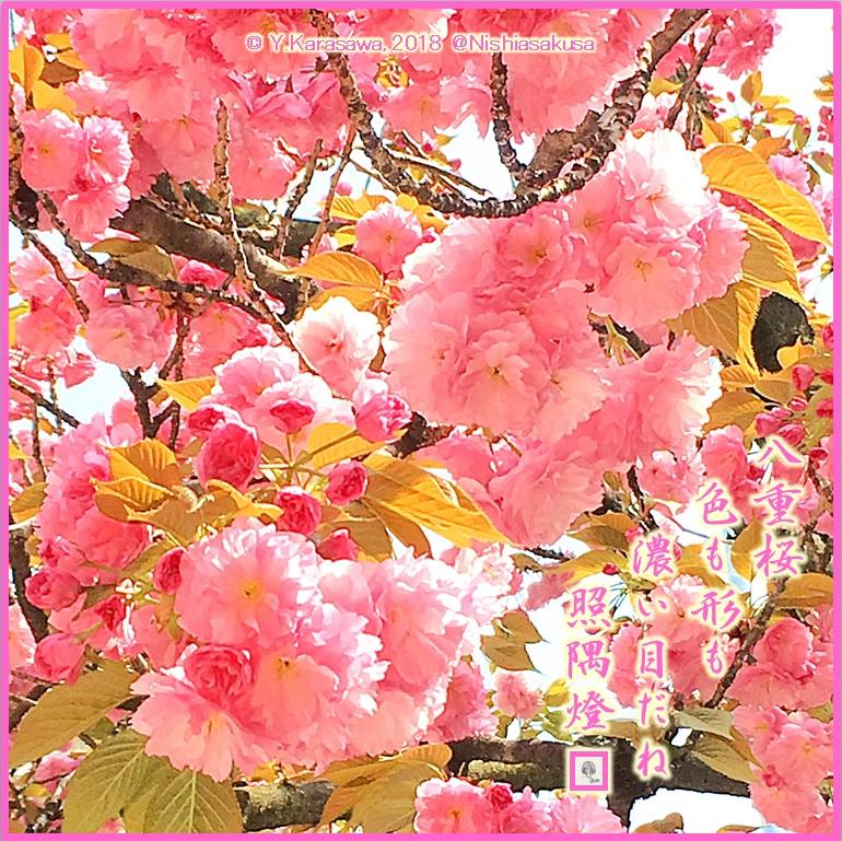 180409八重桜薄紅LRG