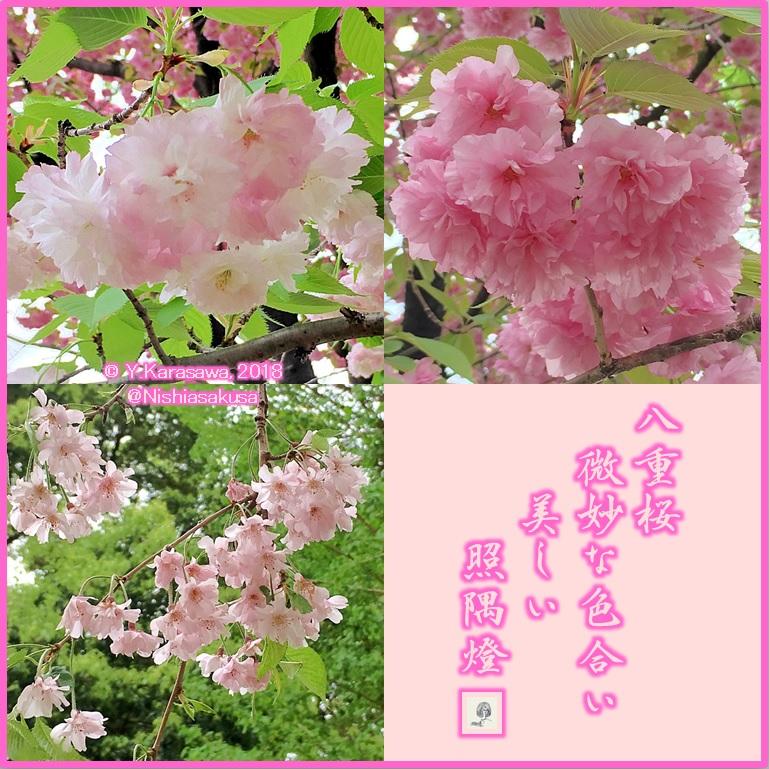 180412八重桜LRG