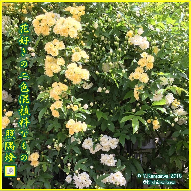 180428木香薔薇白と黄色LRG