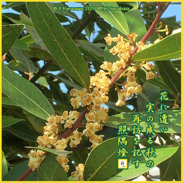 180503月桂樹の花