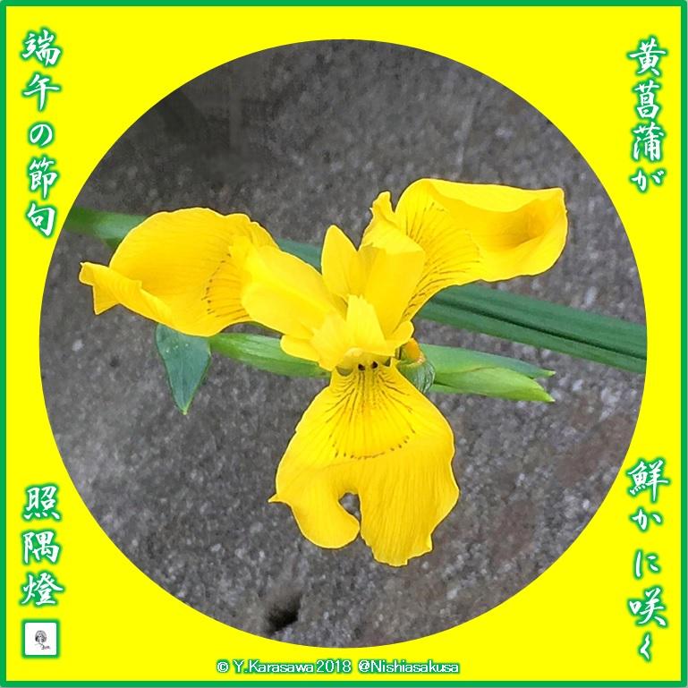 180505黄菖蒲LRG