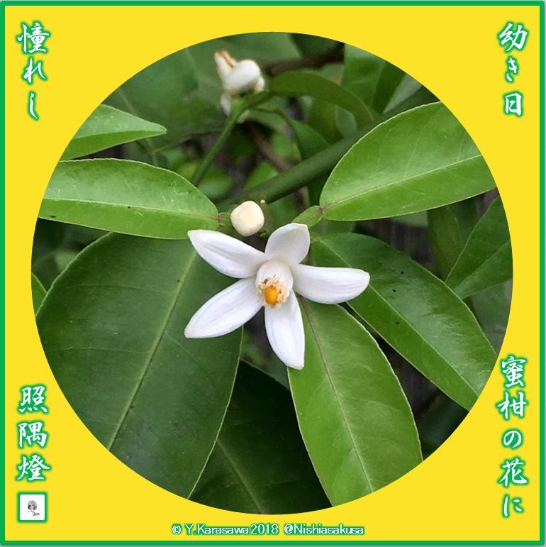 180507柑橘類の花LRG