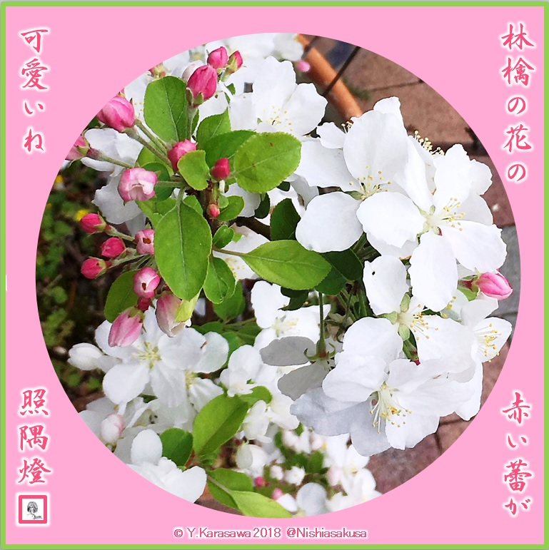 180515林檎の花LRG